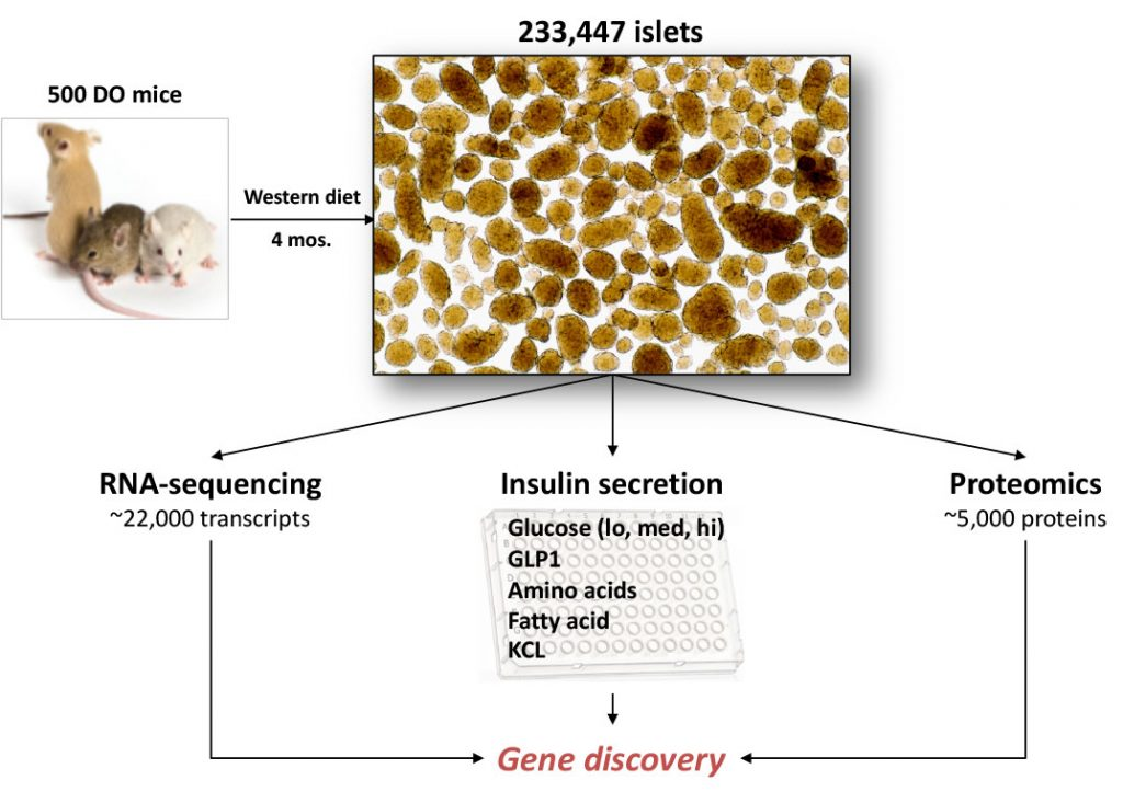 Image of Genes that regulate insulin secretion